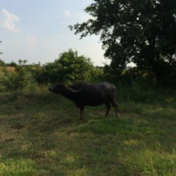 A water buffalo that feeds on the water stored by the dams.