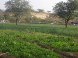 Picture 3: - Vegetables growing in the winter season. January 2017