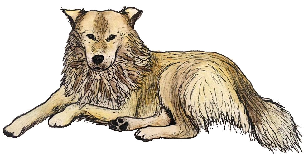 A sketch of a fluffy yellow and light brown dog lying on the floor, looking straight ahead.