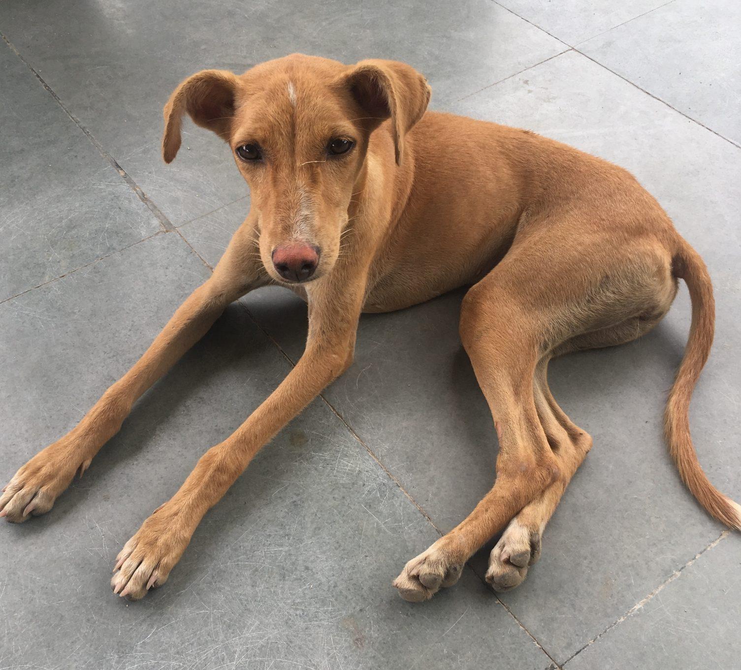 stray_dogs_india