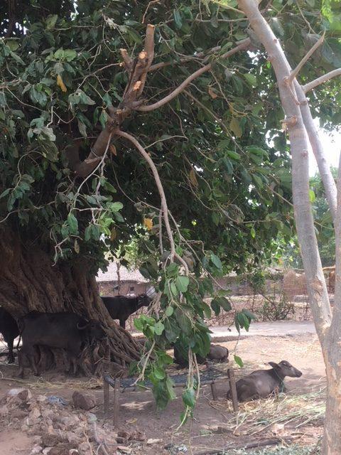 Water buffalo and tree