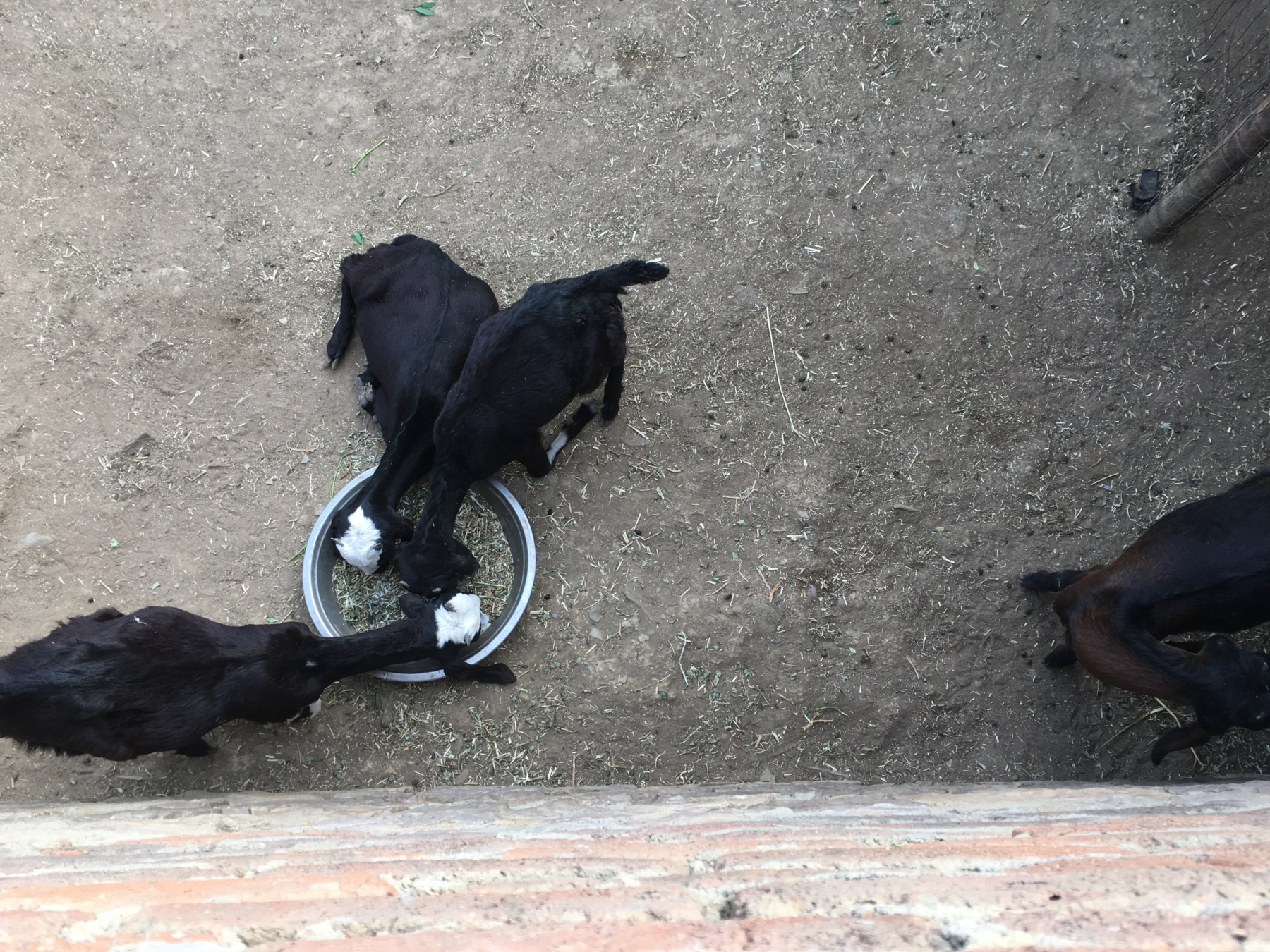 Baby goats seen from above, eating from a bowl