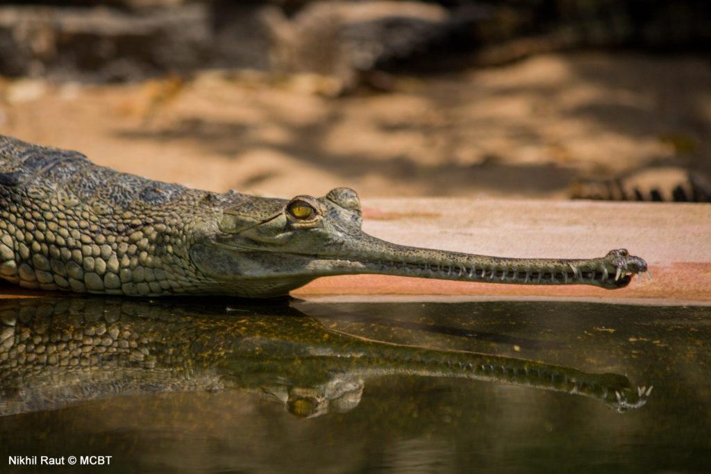 gharial overlooking water
