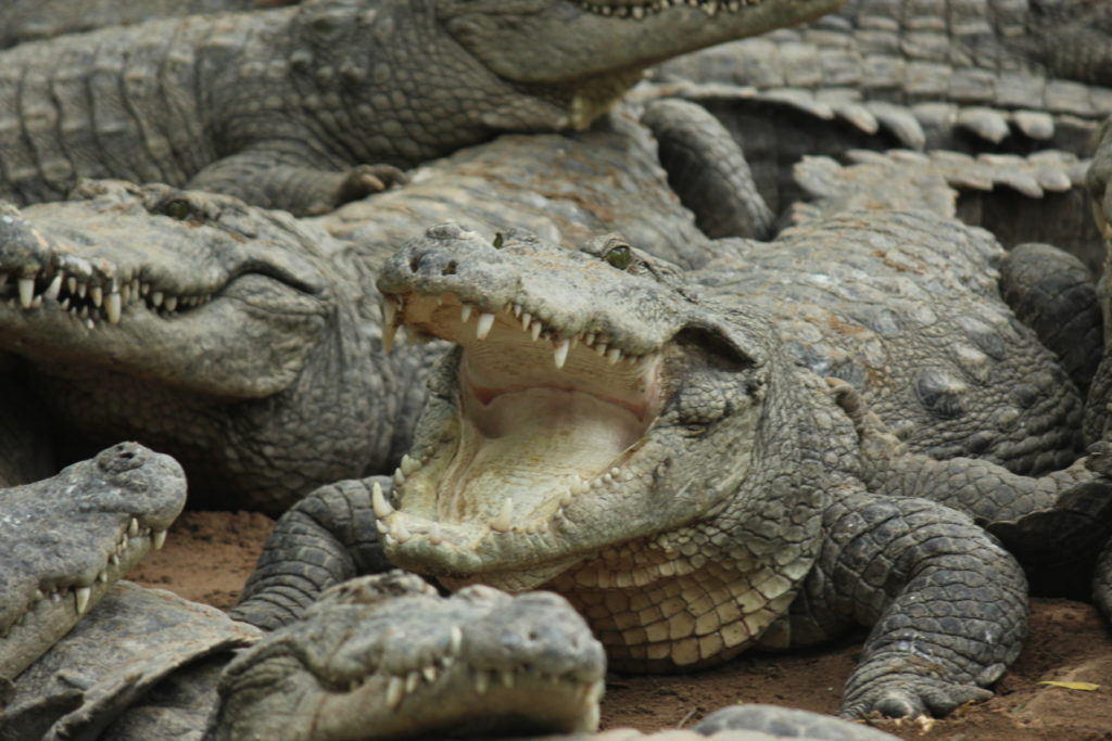 mugger crocodile with mouth open