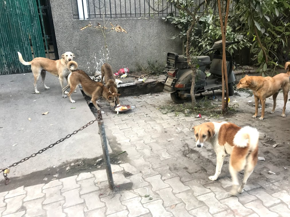dogs on the street of Delhi