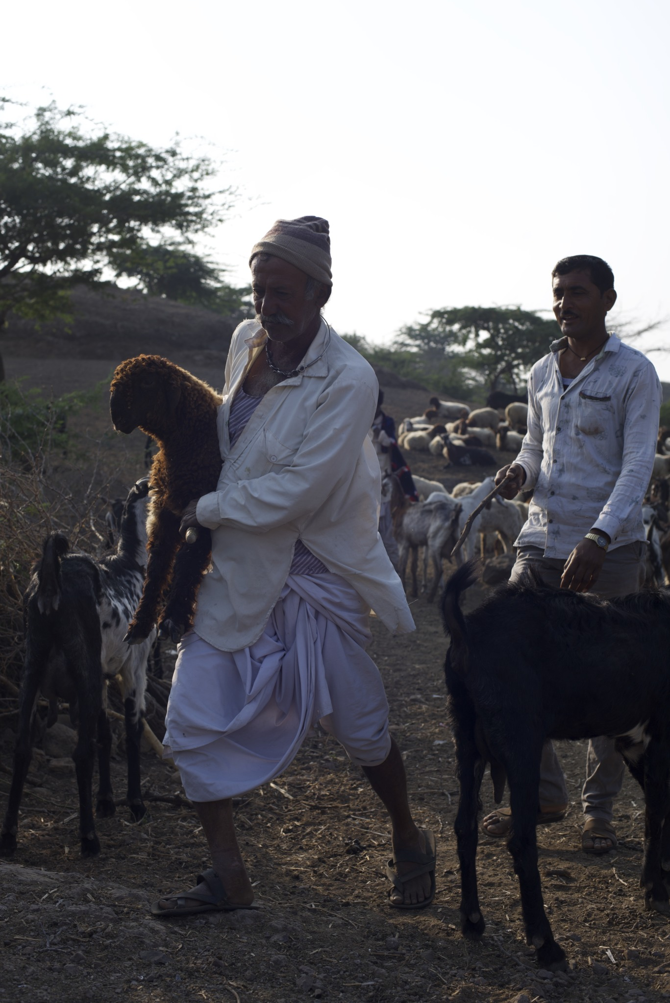 Pastoralist carries a lamb in hands as they walk long hours for grazing